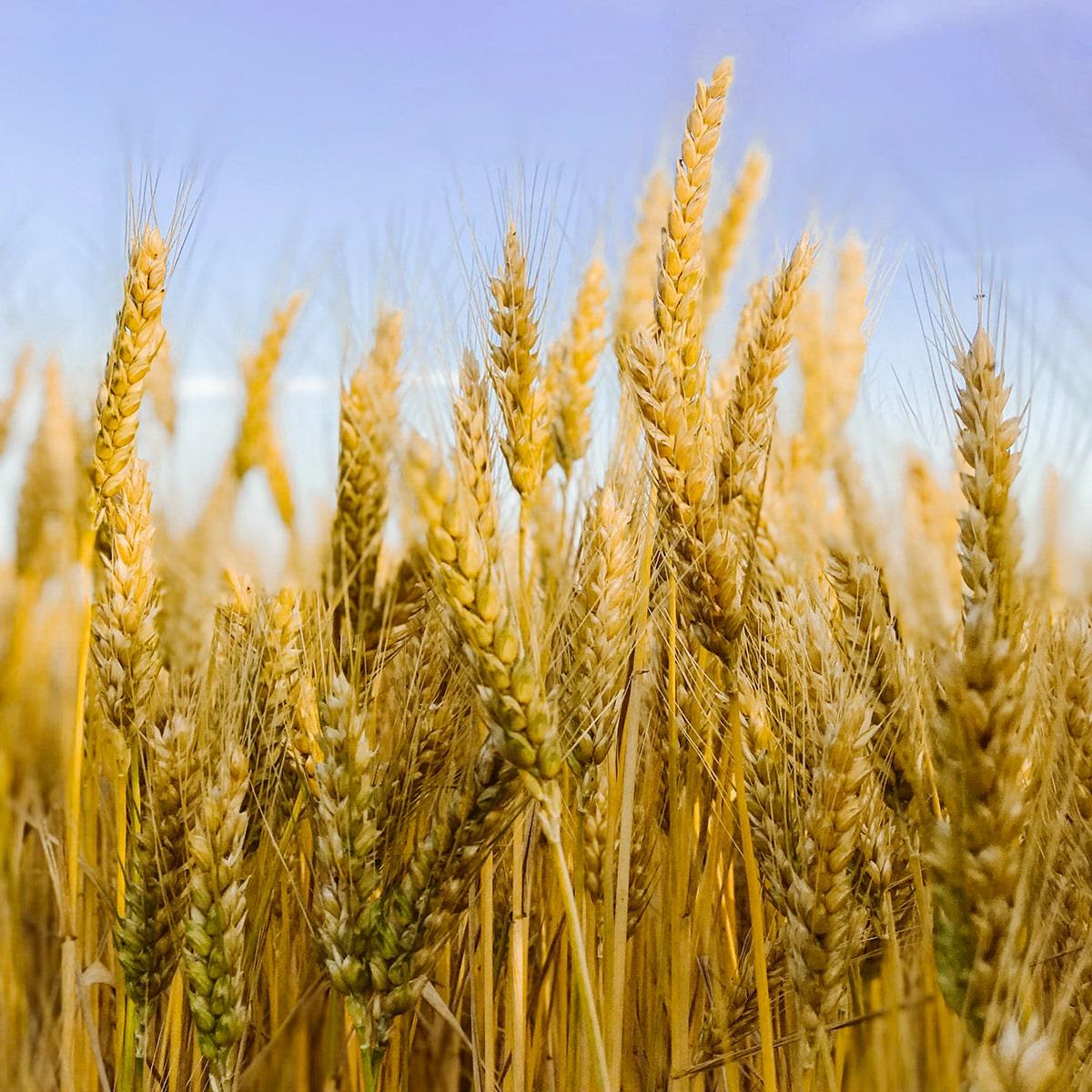 Wheat Zoomer Food Sensitivity Test-min